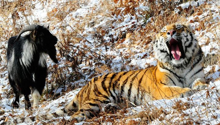 тигр и козел 2016