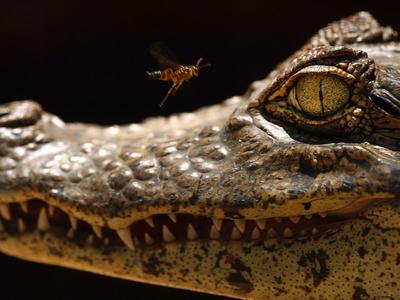 Австралиец стал жертвой нападения крокодила