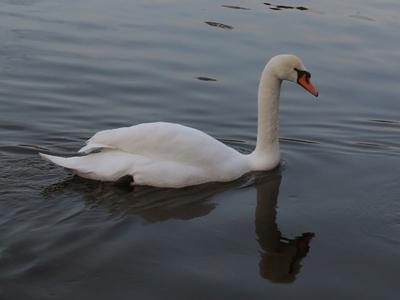 Датские подростки зверски убили лебедя в Италии