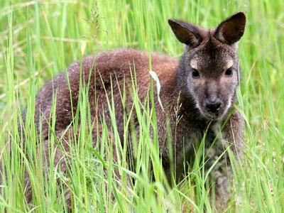 Агрессивный кенгуру напал на автомобиль в Австралии