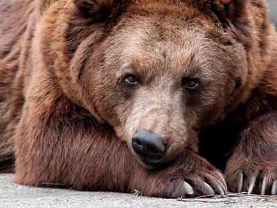 В Сочи дикий медведь задрал пенсионерку