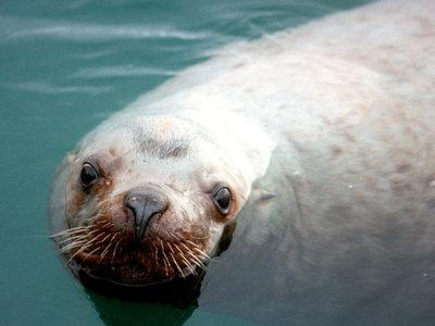 В Приморском океанариуме погиб краснокнижный сивуч Старк