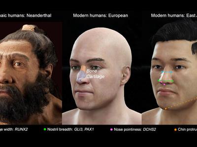 Выявлены пять генов, определяющих форму носа и подбородка человека