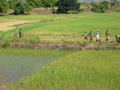 Остатки риса помогли учёным разгадать тайну Мадагаскара