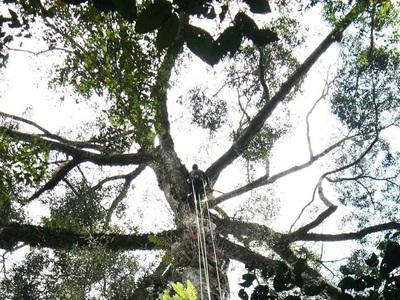 Самое высокое тропическое дерево в мире обнаружено в Малайзии. Любопытные подробности
