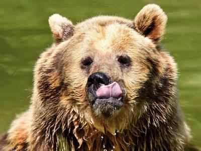 Нападение на геолога: СК проверит желудок медведя
