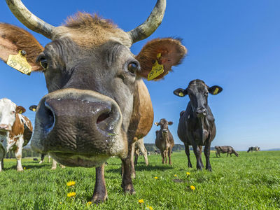 """Австралийские водоросли и """"супертрава"""" избавят коров от метановой отрыжки"""