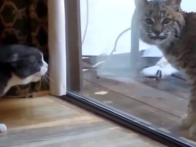 Вместо кошек и собак москвичи заводят в квартирах львов, леопардов и рысей