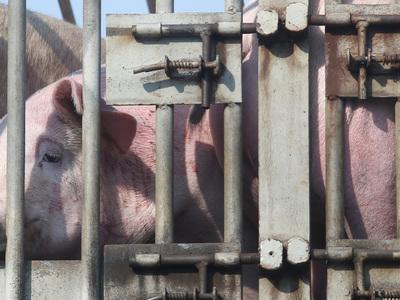 В Ростовской области зарегистрирован новый очаг африканской чумы свиней