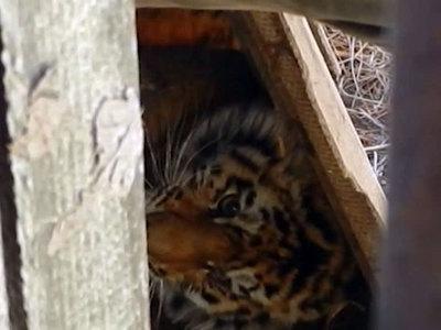 """Тигрица Филиппа, выпущенная в заказнике """"Дичун"""", осваивается на воле"""