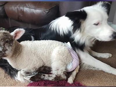Сбежавших вместе пса и ягненка не могут найти уже неделю