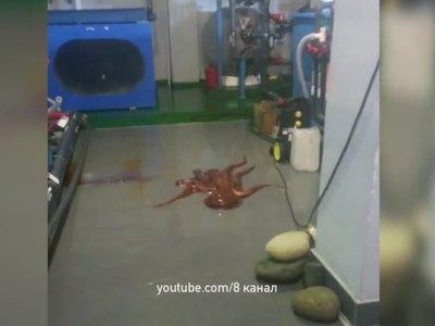 Из Приморского зоопарка пытался сбежать гигантский осьминог. Видео