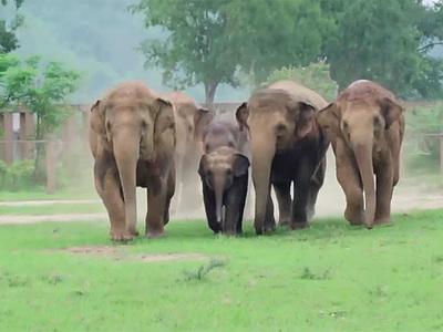 Cлоны устроили забег для знакомства со слоненком-сиротой. Видео