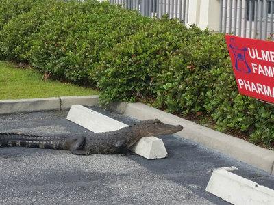 В США первым посетителем аптеки оказался крокодил