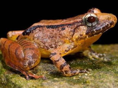 Смена ролей: впервые найдены самки лягушек, поющие серенады своим избранникам