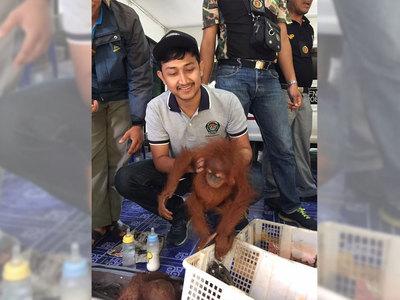 Орангутангов пытались провезти через границу в чемоданах