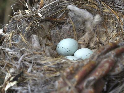 Птицы используют сигаретные окурки в качестве химического оружия против клещей
