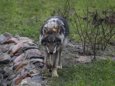 Следователи занялись нападением волка на трехлетнего ребенка