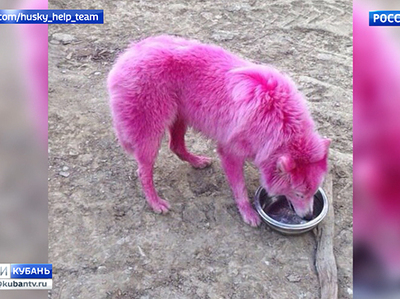 Полиция не будет вмешиваться в историю с розовыми собаками из Геленджика
