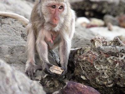 Умелое владение обезьян орудиями вот-вот подтолкнёт моллюсков к исчезновению
