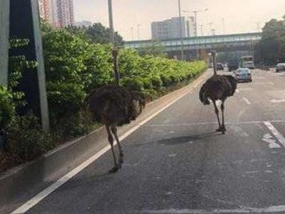 Сбежавшие страусы устроили переполох на автостраде. Видео