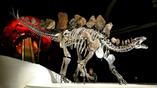Скелет Софи, выставленный в Музее естествознания в Лондоне, на 85% состоит из настоящих костей, недостающие его элементы заменены репликами