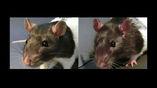 После любимой крысами щекотки их уши слегка розовеют (справа). Для сравнения: слева фото животных, которые вместо щекотки прослушали неприятный звук.