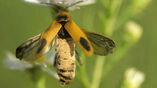Инфицированное насекомое.