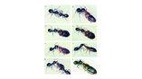 Если же муравьи хотят напасть на жуков, то и тут им есть, что ответить.