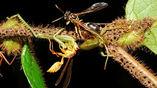 Муравьи начинают тянуть жертву до тех пор, пока насекомое целиком не рухнет на ветку.