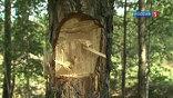 Отбитая кора деревьев
