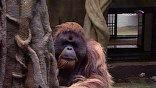 На время эпидемии у обезьян усиленное питание