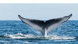 Для синего кита ушная сера становится чем-то вроде идентификационной капсулы, в которой хранится вся его жизнь