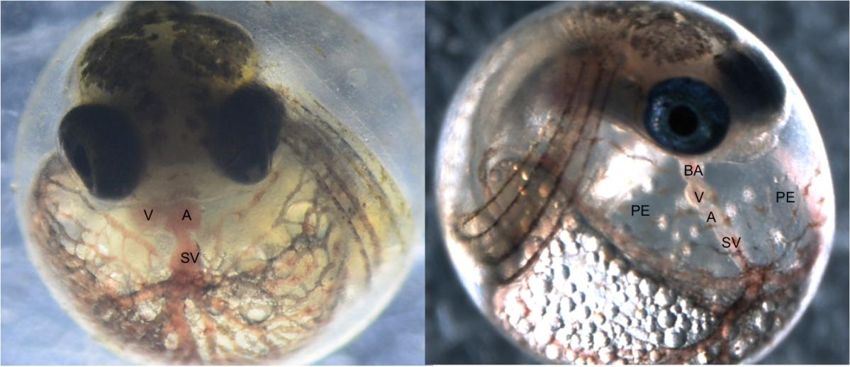 эмбрион рыбы картинка детальнее ознакомиться особенностями