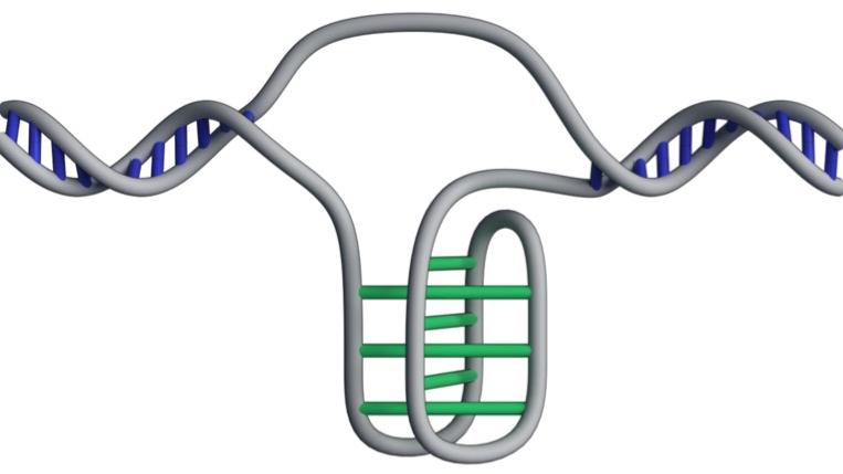 Сейчас нетолько лишь двойная спираль: учёные открыли «узловатую» ДНК вживых клетках
