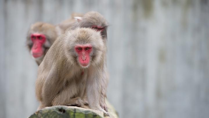 В Московском зоопарке появился на свет детеныш японского макака