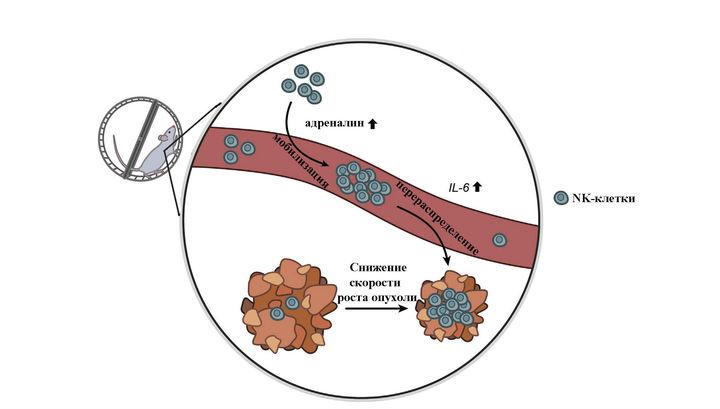 Бег иадреналин замедляют рост раковой опухоли— Ученые