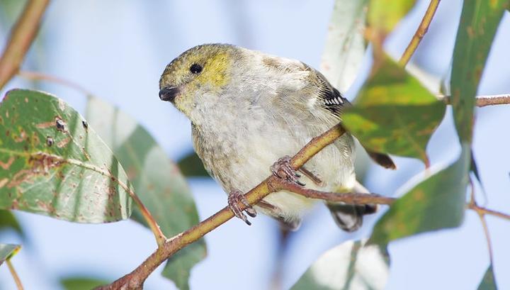 Как птица птенцов библия