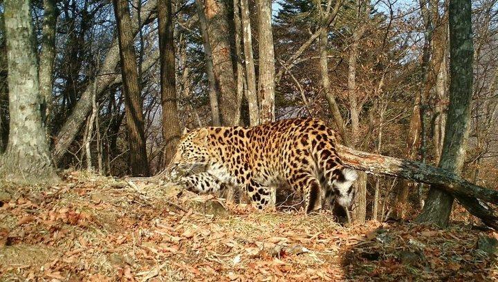 Спасенному дальневосточному леопарду прописали особую диету