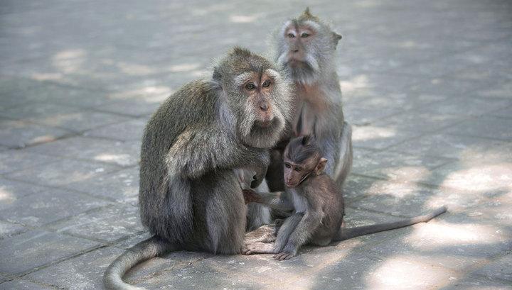 В кубанском институте ставили опыты на незаконно ввезенных обезьянах