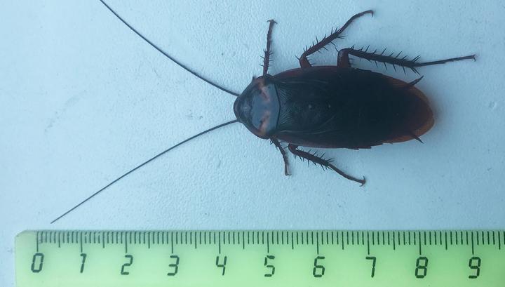 В Сочи объявились гигантские летающие тараканы