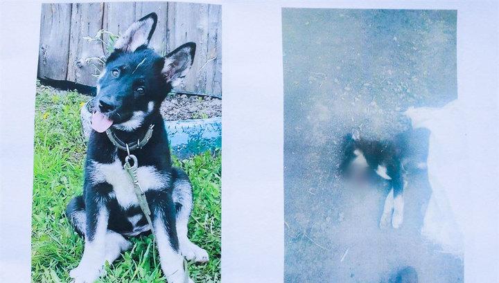 В Томске водитель задавил щенка, но дело завели на его хозяина-подростка