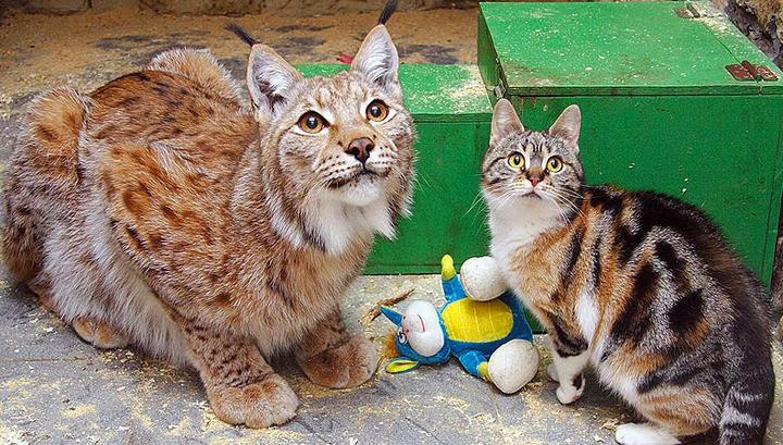 В Ленинградском зоопарке умерла кошка, прославившаяся дружбой с рысью
