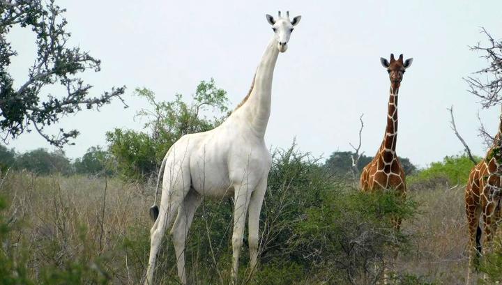 Браконьеры убили последнюю самку белого жирафа и ее детеныша