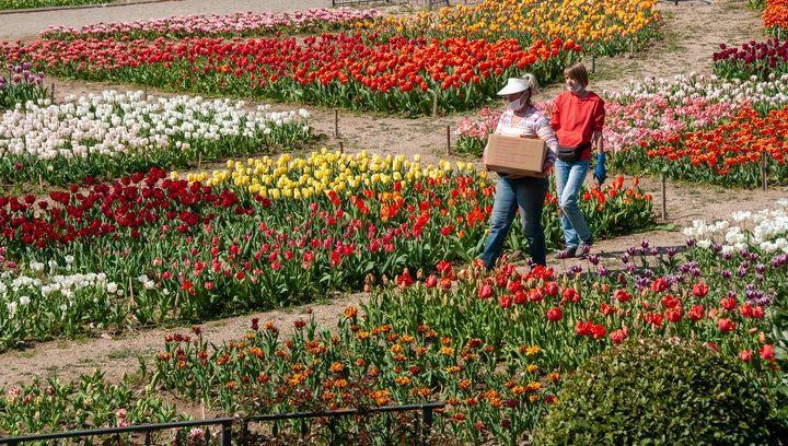 Тюльпаны из Никитского ботсада доставляют крымским врачам