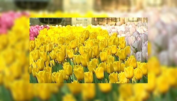 К 1 мая Калугу украсят сотни тысяч тюльпанов