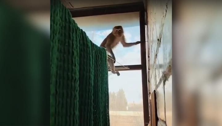 Калужанин вышел на балкон и наткнулся на обезьяну