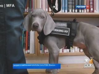 Бостонский музей изящных искусств принял на работу щенка по имени Райли