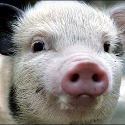 Несколько свиней покусали ребенка в Алтайском крае