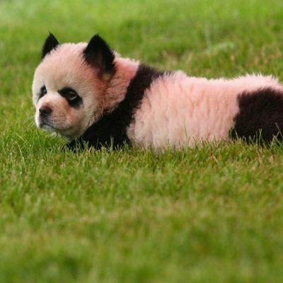 Детеныш панды, опекуном которого назначена Брижит Макрон, впервые появился на публике